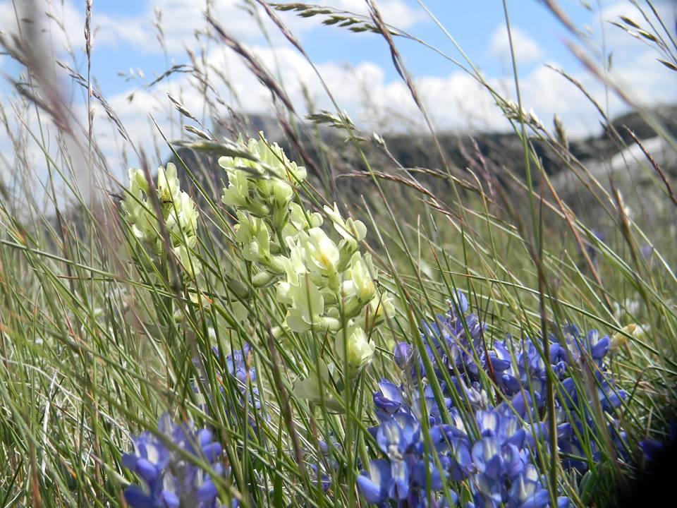 wildflowersbadgertwomedicine